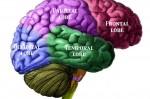 BrainLobesLabelled